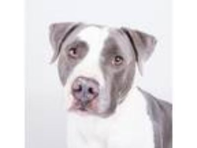 Adopt Edge -adopted a Gray/Blue/Silver/Salt & Pepper Mixed Breed (Large) / Mixed