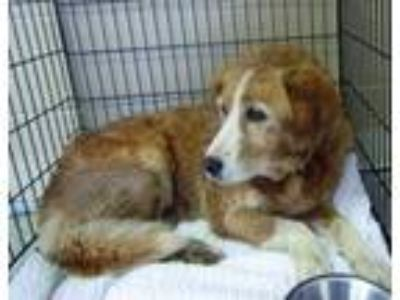 Adopt Miss Brown Betty a Tan/Yellow/Fawn Shepherd (Unknown Type) / Mixed dog in