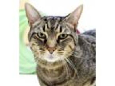 Adopt Gilbert and Chip a Domestic Short Hair