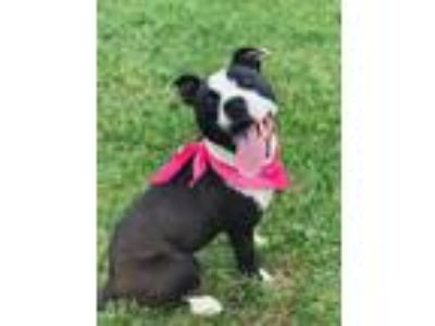 Adopt Doris Day a Pit Bull Terrier / Mixed dog in Boston, MA (25346778)