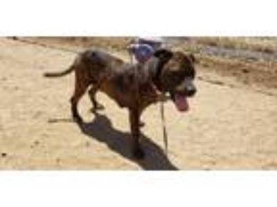 Adopt Simon a Brindle Pit Bull Terrier / Mixed dog in California City