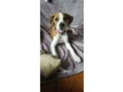 Adopt Betsy a Tan/Yellow/Fawn - with White Beagle dog in Grovertown