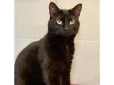 Adopt Sally a All Black Domestic Shorthair / Domestic Shorthair / Mixed cat in