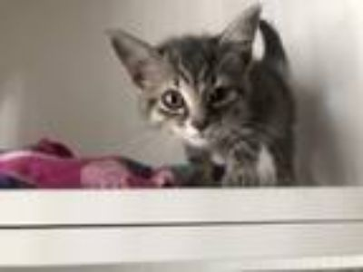Adopt Maxine a Domestic Short Hair