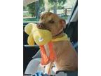 Adopt Tupper a Pit Bull Terrier