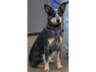Adopt Beauty a Australian Cattle Dog / Blue Heeler