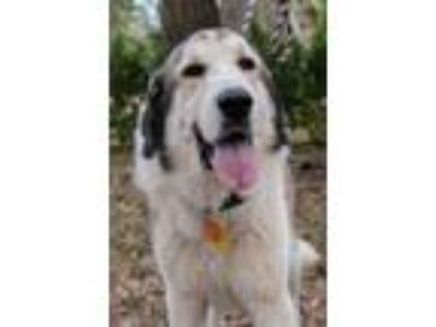 Adopt Becket a Great Pyrenees, Anatolian Shepherd