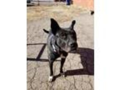 Adopt Buffy a Black - with White Cattle Dog / Australian Shepherd / Mixed dog in
