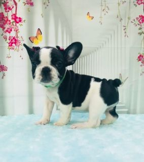 French Bulldog PUPPY FOR SALE ADN-77601 - LUCY