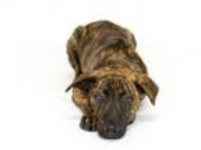 Adopt Pippy a Dutch Shepherd