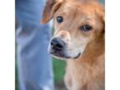 Adopt China a Red/Golden/Orange/Chestnut Labrador Retriever / Mixed dog in