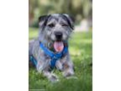 Adopt Evelyn a Labrador Retriever / Old English Sheepdog / Mixed dog in San