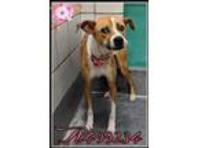 Adopt LILY a Brown/Chocolate - with White Pointer / Mixed dog in San Antonio
