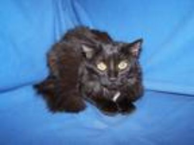 Adopt Angela a Black (Mostly) Domestic Longhair (long coat) cat in Colorado