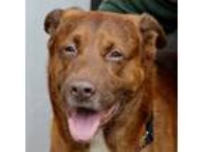 Adopt Big Red a Shepherd, Mixed Breed
