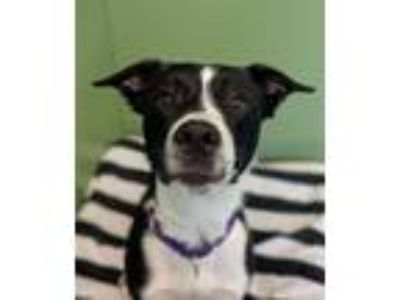 Adopt Milo a Border Collie, Mountain Cur