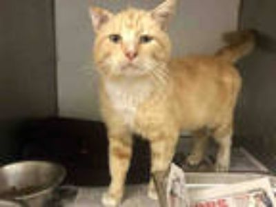 Adopt TAXI a Orange or Red Tabby Domestic Longhair / Mixed (long coat) cat in