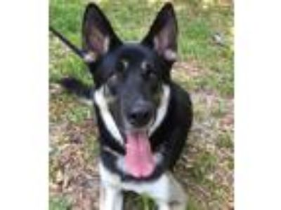 Adopt Niko a Black - with White German Shepherd Dog / Siberian Husky / Mixed dog