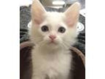 Adopt Calhoun a White Domestic Mediumhair / Mixed (medium coat) cat in San