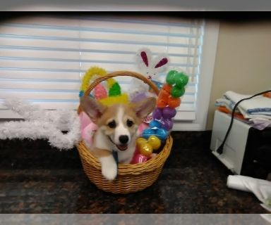 Pembroke Welsh Corgi PUPPY FOR SALE ADN-131398 - Purebred Pembroke Welsh Corgi GIRL