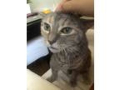 Adopt Tootles a Spotted Tabby/Leopard Spotted American Shorthair cat in Astoria