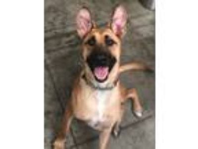 Adopt Max a Tan/Yellow/Fawn - with Black German Shepherd Dog / Mixed dog in Los