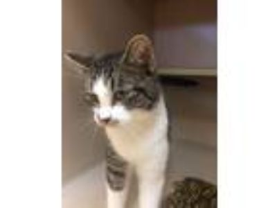 Adopt Gus a Domestic Short Hair