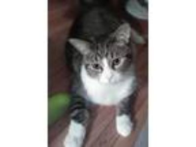 Adopt Trouble a Gray, Blue or Silver Tabby American Wirehair / Mixed cat in