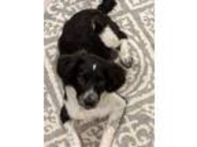 Adopt Bridget Aka Balenciaga a Border Collie, Mixed Breed