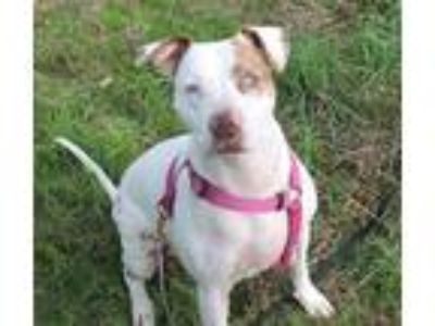 Adopt Tita a White American Pit Bull Terrier / Mixed dog in BURIEN