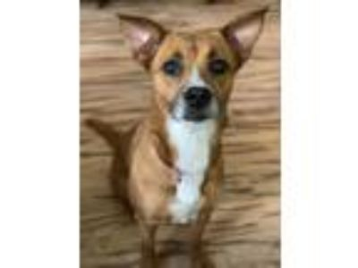 Adopt Asha a Brown/Chocolate - with White Toy Fox Terrier / Mixed dog in Walton