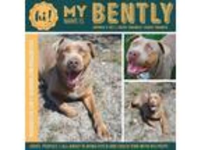 Adopt Bentley a Red/Golden/Orange/Chestnut American Pit Bull Terrier / Mixed dog
