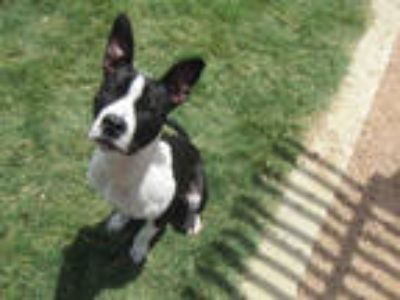 Adopt BLACKJACK a Black - with White American Pit Bull Terrier / Mixed dog in