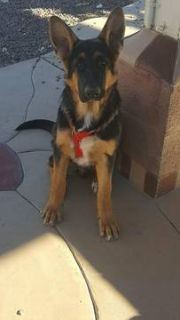 German Shepherd Dog PUPPY FOR SALE ADN-52715 - Strong and healthy 5mth GSD puppies