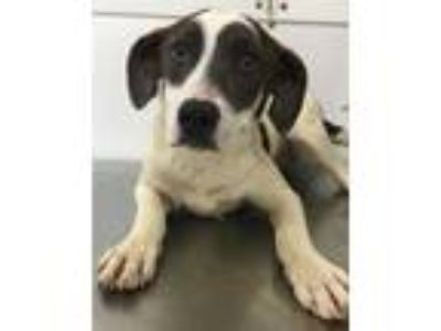 Adopt 41733104 a White Terrier (Unknown Type, Small) / Mixed dog in Bryan