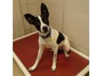 Adopt Zeus a Black Beagle / Terrier (Unknown Type, Small) / Mixed dog in