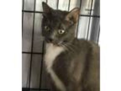 Adopt Magnolia a Gray or Blue (Mostly) Domestic Shorthair (short coat) cat in