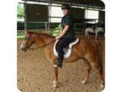 Adopt Wild Thing a Chestnut/Sorrel Pony - of America / Paso Fino horse in Sugar