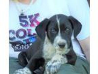 Adopt Felicia a Black - with White Labrador Retriever / Anatolian Shepherd /