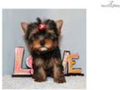 Micro Tiny Teacup Yorkie Puppy Girl (Chloe)