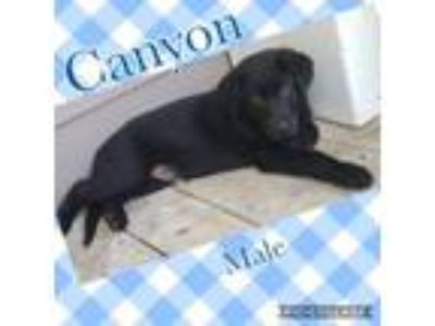 Adopt Canyon a Labrador Retriever, Shepherd