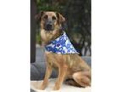 Adopt Little Lady a Shepherd (Unknown Type) / Mixed dog in Fort Worth