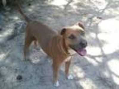 Adopt Dolce a Brown/Chocolate - with Tan Labrador Retriever / Pit Bull Terrier /