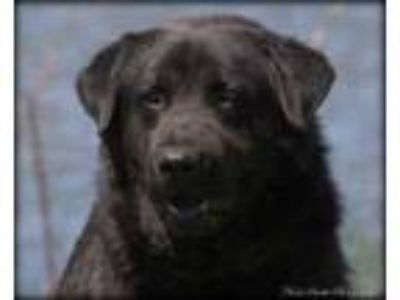 Adopt Bowzer a Black Chow Chow / Mixed dog in Madionsville, KY (25070356)