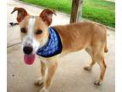 Adopt Tipper a Brown/Chocolate Shepherd (Unknown Type) / Mixed dog in