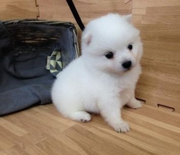 Japanese Spitz PUPPY FOR SALE ADN-100039 - Japanese Spitz the SMARTEST small dog SEA SF LA NY