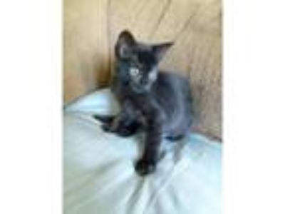 Adopt Monica a Domestic Shorthair / Mixed cat in Kalamazoo, MI (25885333)