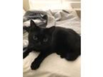 Adopt Princess a All Black Bombay / Mixed cat in West Sacramento, CA (22779724)
