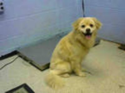 Adopt DANDELION a White - with Tan, Yellow or Fawn Chow Chow / Mixed dog in