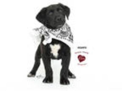 Adopt a Black - with White Great Dane / Labrador Retriever / Mixed dog in